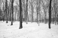 Forest woodland in snow