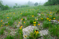 Coneflowers in foggy glade
