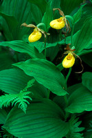 Small yellow lady slipper orchid