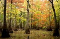 Bald Cypress and Tupelo 2, Allred Lake