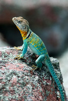 Collared Lizard stands on a rock, Stegal Mountain glade